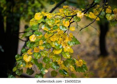 Linden tree, rainy autumn