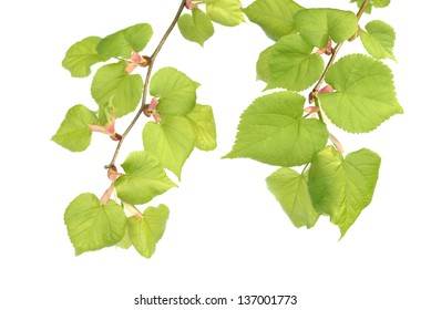 linden twigs isolated on white background
