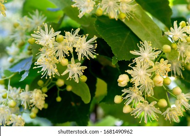 Linden yellow blossom of Tilia cordata tree (small-leaved lime, little leaf linden flowers or small-leaved linden bloom ), banner close up. Botany blooming trees with white flowers.