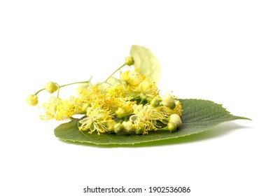 Linden yellow blossom of Tilia cordata tree (small-leaved lime, littleleaf linden flowers or small-leaved linden bloom ) on white