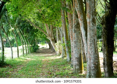Line of agar wood tree in agriculture background and perfume oud industry