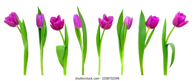 Line of beautiful violet tulips isolated on white background