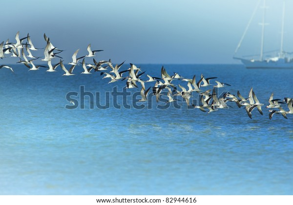 Line of Black Skimmers flock rising above sea bay. Latin name -  Rynchops niger. With copy space.