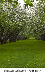 line of blossoming apple trees during mid-day light and green grass around