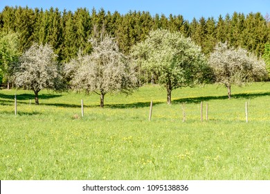 line of blossoming organic fruit trees in countryside , shot in bright spring light near Rottweil, Baden Wuttenberg, Germany