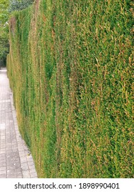 Line of bush hedge. Natural green fence in perspective. Plant-based fence. The green tree wall is parallel to the road. Garden design and Gardening pattern.