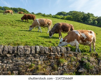 A line of cows in a field