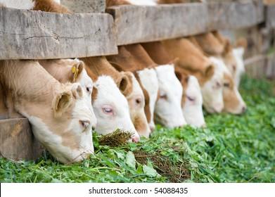 a line of farm calves eating green grass fodder