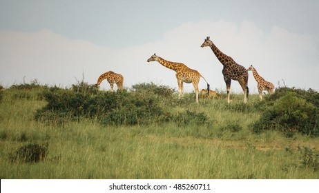 Line with with giraffes of different ages