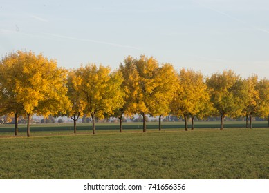 A line of golden trees in the fall.