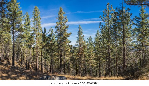 Line of green mountain pine trees above central valley of western California.