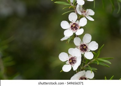 Line of manuka flowers from which manuka honey with medicinal benefits are made with space on the left