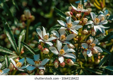 A line of Mock Orange flowers on a bush