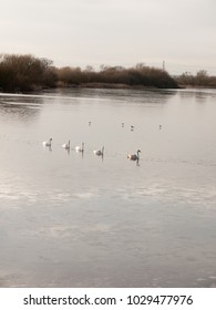 line of mute swans with cygnets family traveling through cold water lake surface outside nature reserve; essex; england; uk