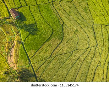 Line pattern green rice farm field with small shack in Aerial Photography top view; Yogyakarta, Indonesia - 15 July 2018