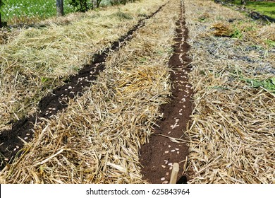 Line of pea seeds planted in permaculture garden in straw and hay