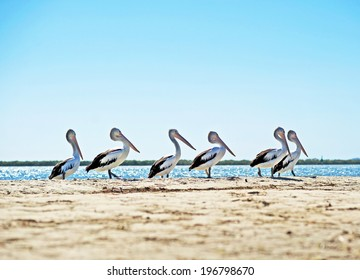 Line of pelicans on an Australian beach