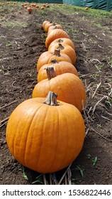 A line of pumpkins in a field.
