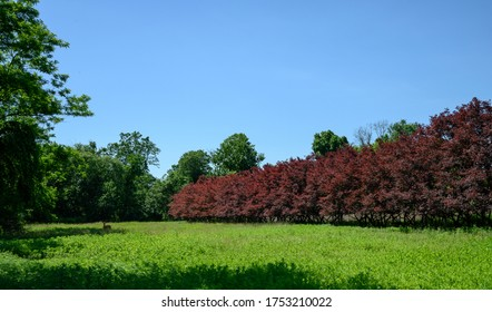 A line of red maples border a field