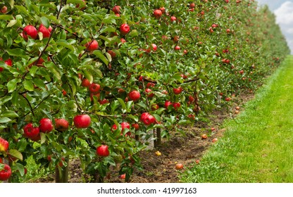 a line of ripe red apple trees in an orchard