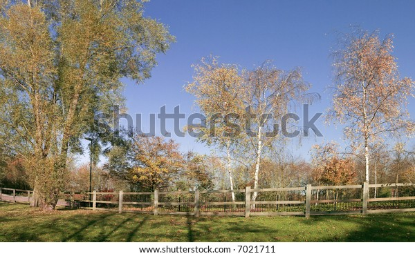 a line of silver birch trees against a blue sky in autumn