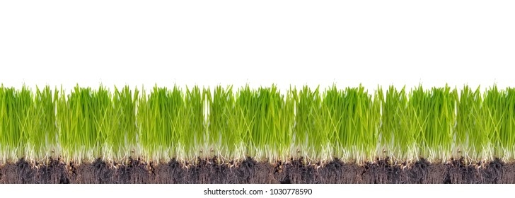 line of sprout of grass in the soil on white background in panoramic size