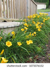 a line of Stella D'Oro daylilies provide sentry duty along the handicap access to a home's deck; Harrisonburg, VA, USA