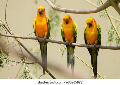 A line of sun conure birds on a tree branch