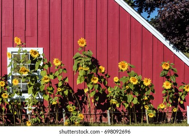 Line of sunflowers in front of red barn