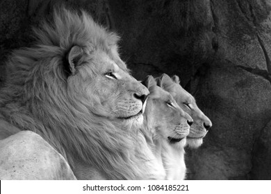 A line of three lions, a male and two females.