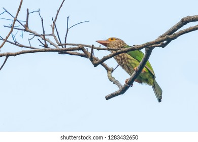 Lineated Barbet  perching on dry perch