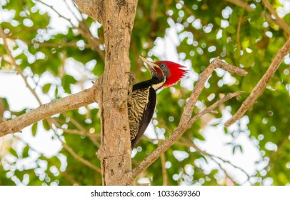 Lineated Woodpecker (Dryocopus lineatus) with Bright Red Head Crest Working on a Tree in Mexico