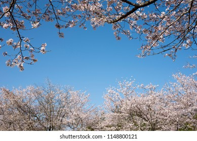 Lined parallel trees yoshino cherry blossoms under blue sky