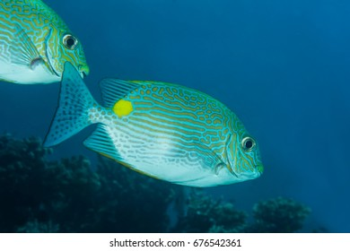 Lined Rabbitfish (Siganus lineatus)