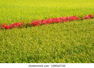 Lined spider lily flowers between rice field in Kagoshima
