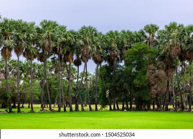 Lined sugar palm trees, Bang Pla Ma District, Suphan Buri Province.