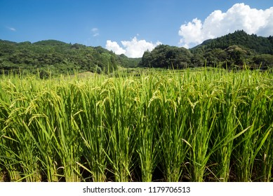 Lined summer green rice ear under sky in Kumamoto