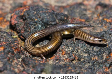 Lined Supple Skink, Lygosoma lineata, Satara, Maharashtra, India