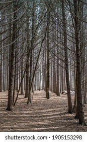 Lined up trees in the forrest
