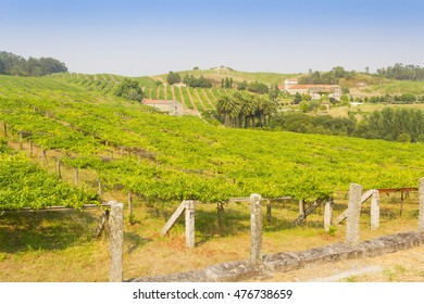 Lines of growing grapes with pazo of Baion at background, Vilanova de Arousa