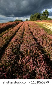 Lines of Heather on Ashdown Forest, Sussex