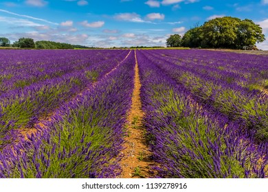 Lines of purple lavender blooms ready for harvesting in a field in Heacham, Norfolk, UK