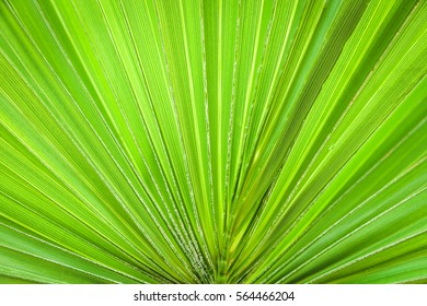 Lines and textures of green palm leaf