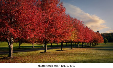 Lineup of red maple trees showing autumn color in the early morning at Swartswood State Park, New Jersey