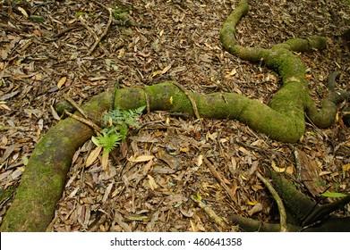 Lingering root, Kaitoke Regional Park, North Island, New Zealand