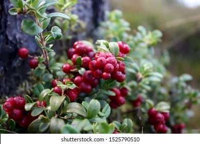 Lingonberry berries on a branch in a forest in a swamp.