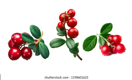 Lingonberry (fruits of Vaccinium vitis-idaea) clusters with leaves