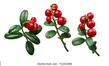 Lingonberry (fruits of Vaccinium vitis-idaea) with stem and  leaves. Clipping paths for each