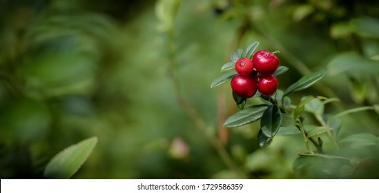 Lingonberry growing in the forest closeup. Ripe red lingonberry berry in the wild after rain, soft focus. Beautiful Nature Web banner or Wallpaper With Copy Space for design