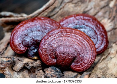 Lingzhi mushroom have medicinal properties, placed on old wood and on a natural background.
